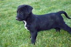 Filhote de cachorro preto de Labrador Fotografia de Stock