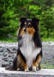 Filhote de cachorro preto do collie Imagens de Stock Royalty Free