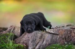 Filhote de cachorro preto do laboratório fotos de stock