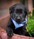 Filhote de cachorro preto do laboratório fotografia de stock