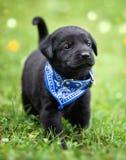 Filhote de cachorro preto do laboratório imagens de stock