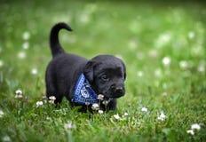 Filhote de cachorro preto do laboratório foto de stock
