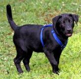 Filhote de cachorro preto do laboratório Foto de Stock Royalty Free