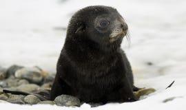 Filhote de cachorro preto do lobo-marinho na neve Fotos de Stock Royalty Free