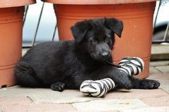 Filhote de cachorro preto do pastor alemão Foto de Stock Royalty Free
