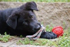 Filhote de cachorro preto do pastor alemão Fotos de Stock