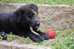 Filhote de cachorro preto do pastor alemão Imagem de Stock Royalty Free