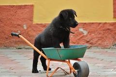 Filhote de cachorro preto do pastor alemão Fotos de Stock Royalty Free