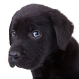 Filhote de cachorro preto do retriever de Labrador Imagens de Stock