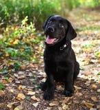 Filhote de cachorro preto do retriever de Labrador Fotografia de Stock Royalty Free