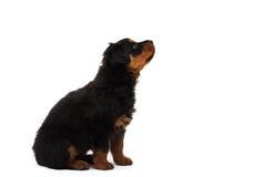filhote de cachorro preto do rottweiler fotos de stock royalty free
