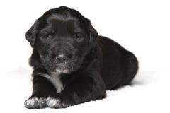 Filhote de cachorro preto e branco foto de stock