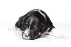 Filhote de cachorro preto e branco imagem de stock royalty free