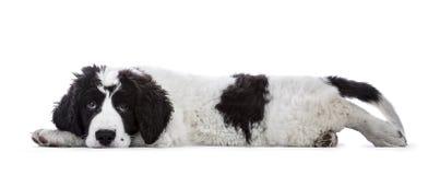 Filhote de cachorro preto e branco doce de Landseer Foto de Stock