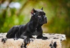 Filhote de cachorro preto novo de Corso do bastão que encontra-se em um tapete Fotografia de Stock Royalty Free