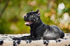 Filhote de cachorro preto novo de Corso do bastão que encontra-se em um tapete Fotos de Stock