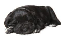 Filhote de cachorro preto pequeno foto de stock