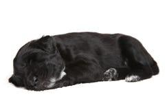 Filhote de cachorro preto pequeno fotos de stock