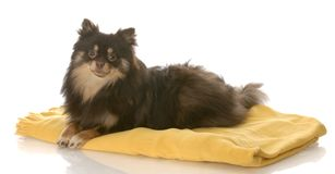 Filhote de cachorro que coloca no cobertor Fotografia de Stock