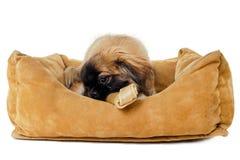 Filhote de cachorro que come o osso na cama do cão Fotografia de Stock Royalty Free