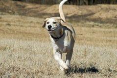 Filhote de cachorro que funciona no campo Foto de Stock Royalty Free