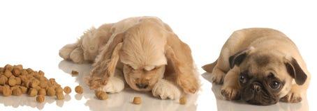 Filhote de cachorro que implora pelo alimento Imagem de Stock