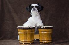 Filhote de cachorro que joga bongos. fotografia de stock royalty free