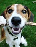 Filhote de cachorro que joga com vara Imagens de Stock