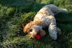 Filhote de cachorro que joga na grama Imagens de Stock Royalty Free