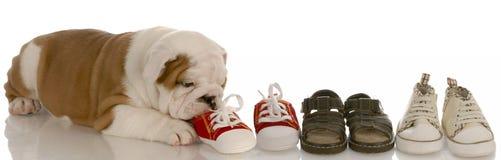 Filhote de cachorro que mastiga na linha de sapatas fotografia de stock