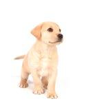 Filhote de cachorro que olha acima Fotos de Stock