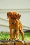 Filhote de cachorro que olha para baixo Fotos de Stock