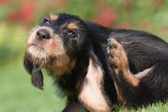 Filhote de cachorro que risca-se atrás da orelha Imagens de Stock Royalty Free