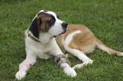 Filhote de cachorro quebrado Fotografia de Stock