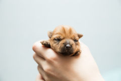 Filhote de cachorro recém-nascido Fotografia de Stock