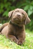 Filhote de cachorro - retriever de Labrador fotografia de stock