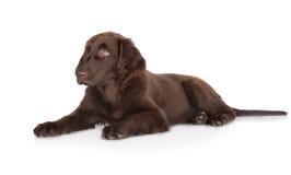 Filhote de cachorro revestido liso do retriever imagens de stock royalty free