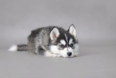 Filhote de cachorro ronco Foto de Stock