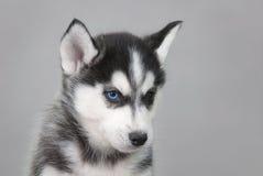 Filhote de cachorro ronco Fotografia de Stock