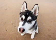 Filhote de cachorro ronco 3 Fotografia de Stock Royalty Free