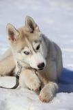 Filhote de cachorro ronco Imagem de Stock Royalty Free