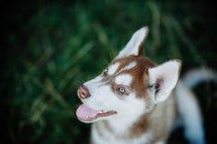 Filhote de cachorro ronco fotografia de stock royalty free