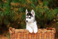 Filhote de cachorro ronco em uma cesta fotos de stock