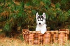 Filhote de cachorro ronco em uma cesta imagens de stock royalty free