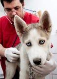 Filhote de cachorro ronco no veterinário fotos de stock