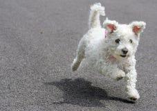 Filhote de cachorro Running Imagens de Stock Royalty Free