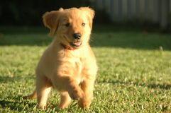Filhote de cachorro Running Fotos de Stock Royalty Free