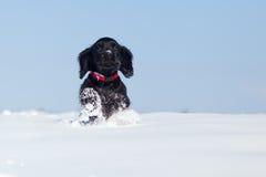 Filhote de cachorro running bonito na neve Foto de Stock Royalty Free