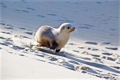 Filhote de cachorro running do leão de mar fotos de stock