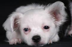 Filhote de cachorro sonolento Fotografia de Stock Royalty Free